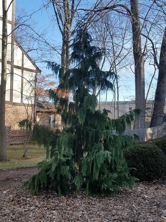 nootka cypress1