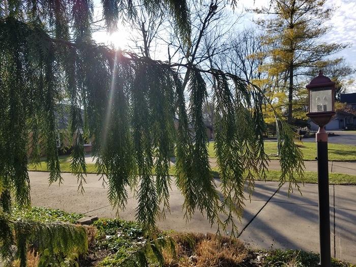 nootka cypress2