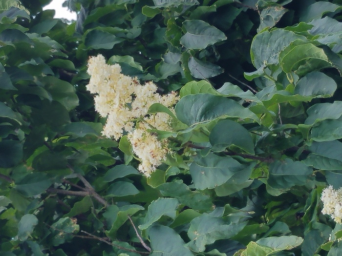 Lilac 5